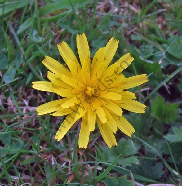 Autumn Hawkbit Flower