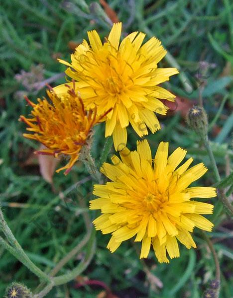 Autumn Hawkbit Flowers