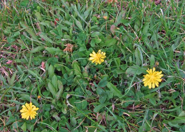Autumn Hawkbit Lawn Weed