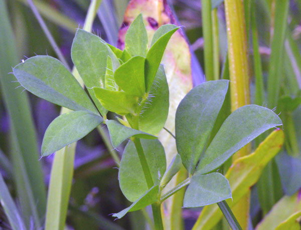 Birds-Foot Trefoil Leaf