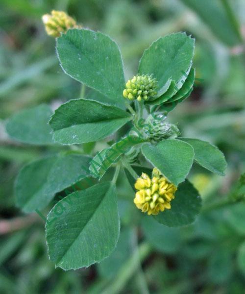 Black Medic Flowers