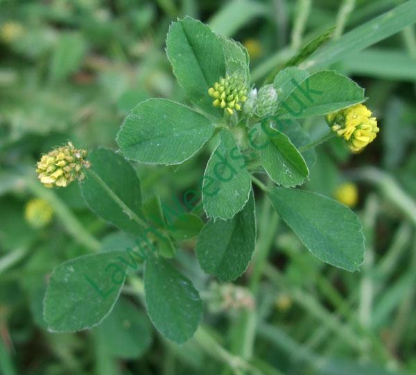 Black Medic Leaf