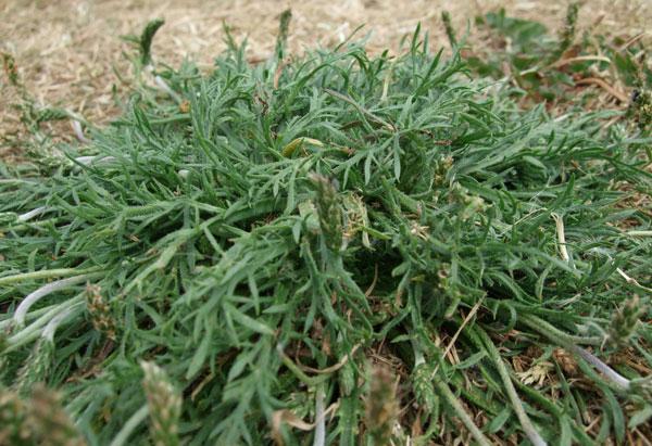 Buckshorn Plantain