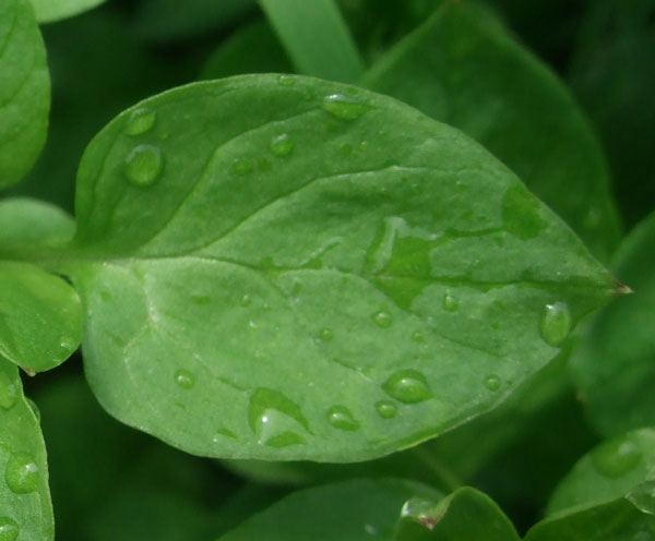 Common Chickweed Leaf