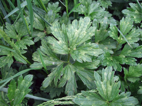 Creeping Buttercup Leaves