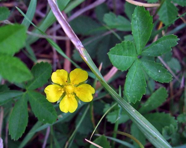Creeping Cinquefoil Flower