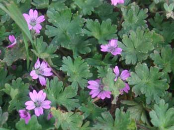 Doves-foot Cranesbill