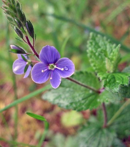 Germander Speedwell Flower