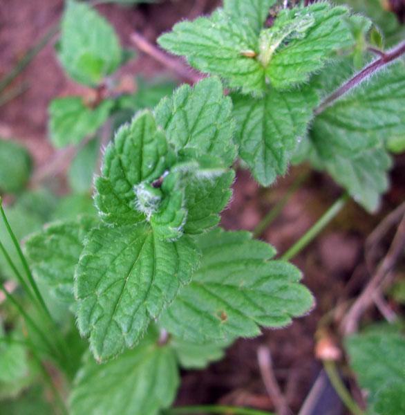Germander Speedwell Leaf