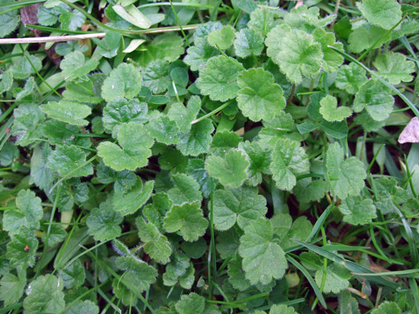 Ground Ivy Leaves
