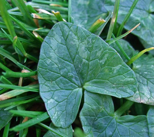 Lesser Celandine Leaf