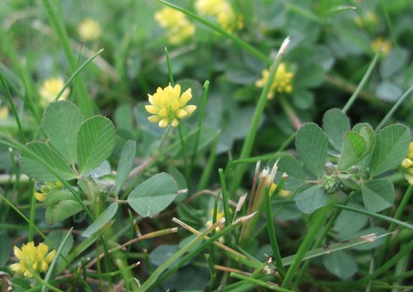 Lesser Trefoil Flower