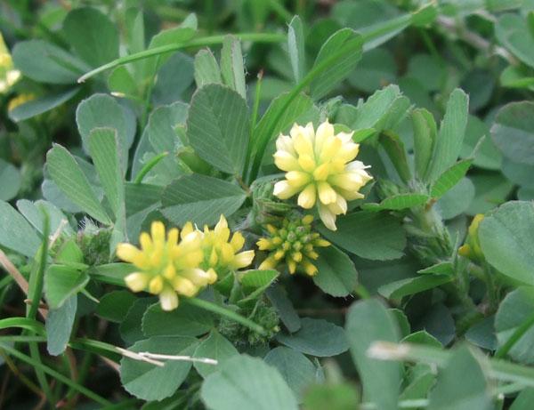 Lesser Trefoil Flowers