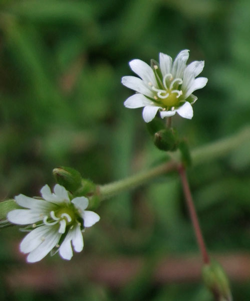 Mouse-ear Chickweed Flower