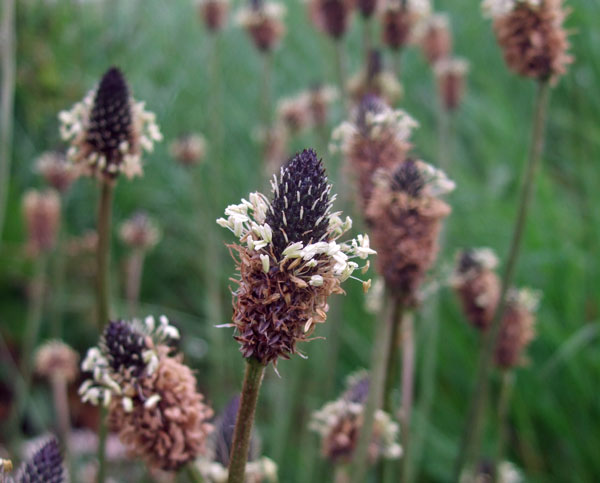 Ribwort Plantain Flowers