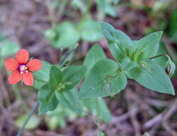 Scarlet Pimpernel Flower