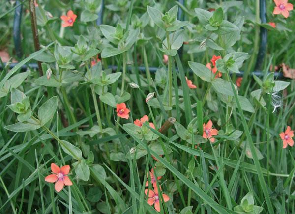 Scarlet Pimpernel Leaves