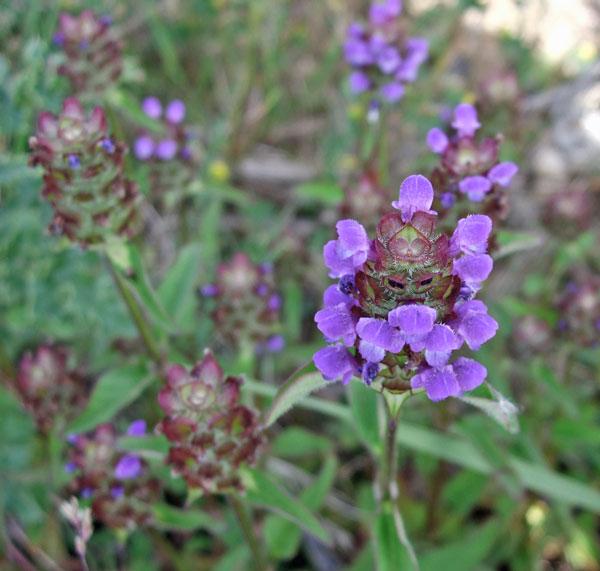 Selfheal Flowers