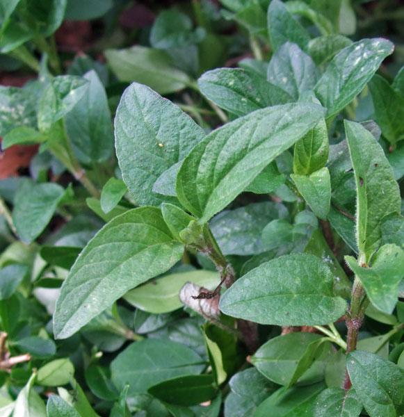 Selfheal Leaves