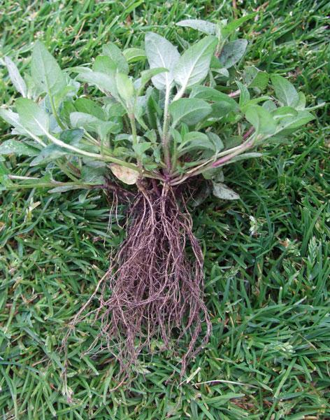 Selfheal Roots