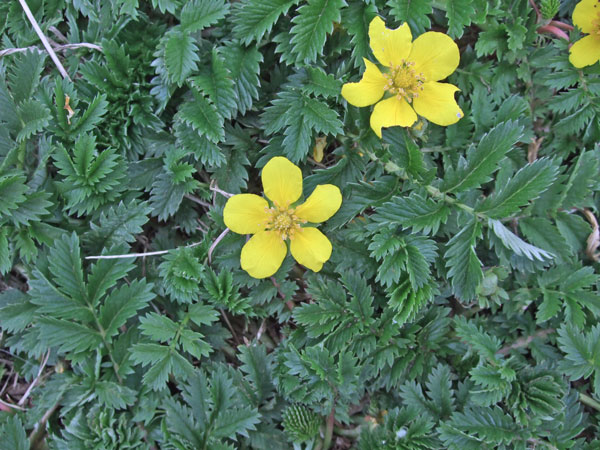 Silverweed Flowers