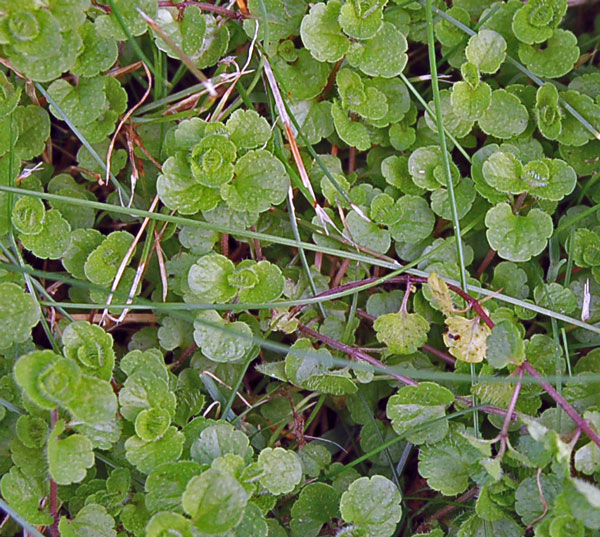Slender Speedwell Leaf