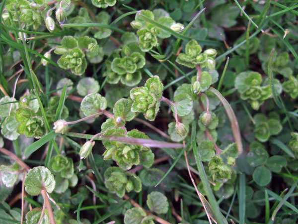 Slender Speedwell Leaves