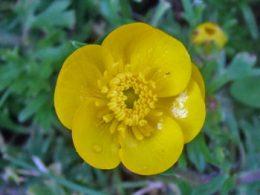 Bulbous Buttercup Ranunculus bulbosus