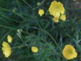 Field Buttercup Ranunculus acris