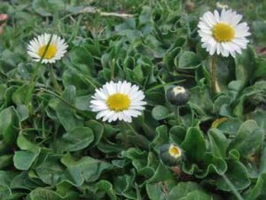 Daisy Bellis perennis