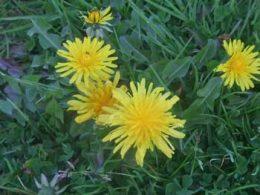 Dandelion Taraxacum officinale