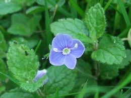 Germander Speedwell Veronica chamaedrys