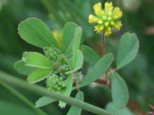 Lesser Trefoil Trifolium dubium