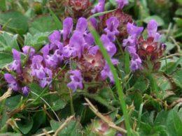 Selfheal Prunella vulgaris