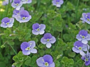 Slender Speedwell Veronica filiformis
