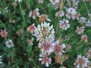 White Clover Trifolium repens