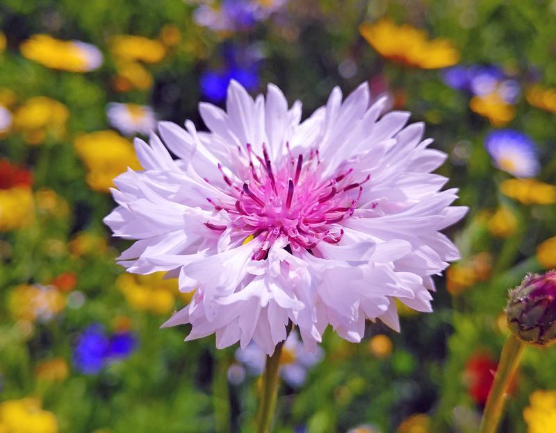 Cornflower <em>Centaurea cyanus</em>