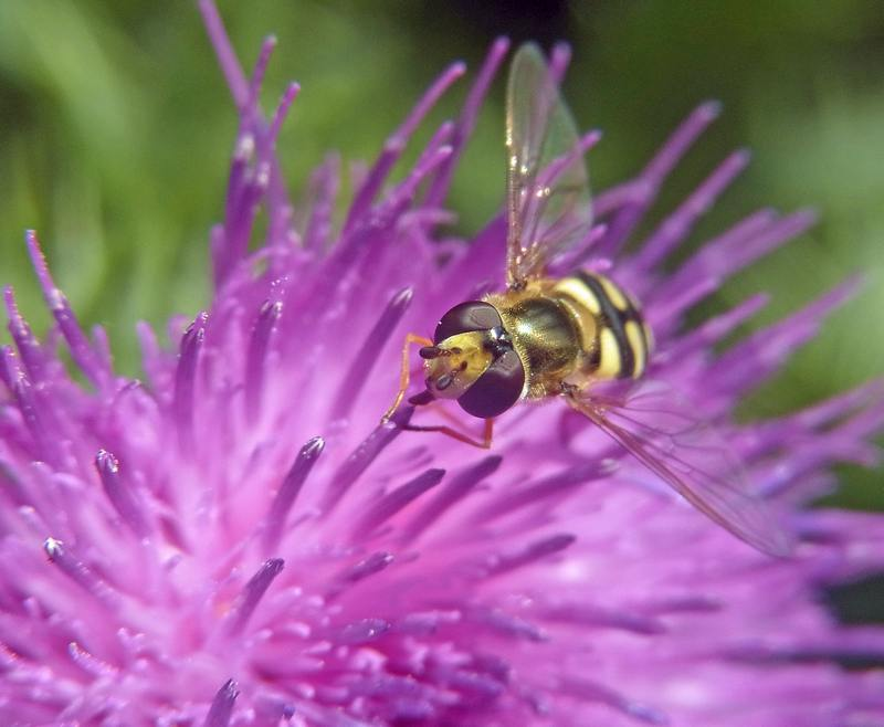Hoverfly on a knapweed flower