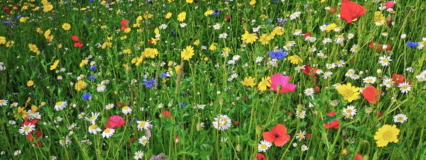 Wildflowers Header