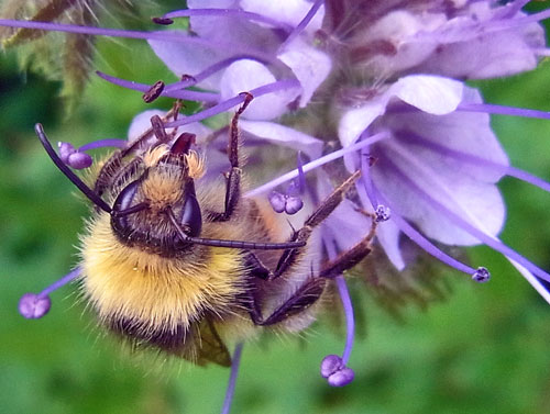 Bumble Bee on a Wildflower