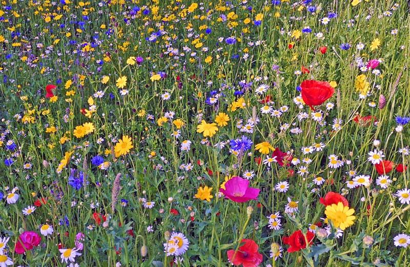 Cornfield Annual Wildflowers