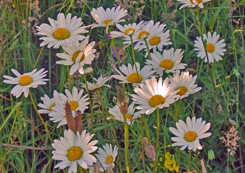 Oxeye Daisy Wildflower