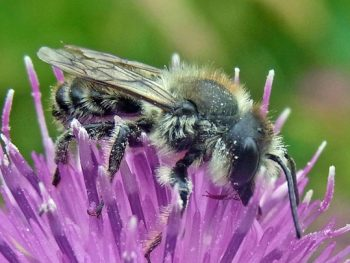 Bees are important pollinators, but their numbers are in decline. They